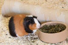 Guinea Pig-34