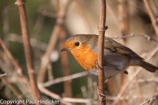 Robin-36