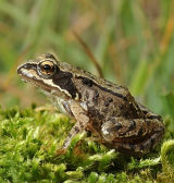 AM1-Immature Frog