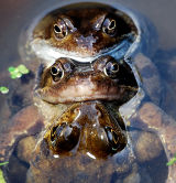 AM2-Trio of Mating Frogs