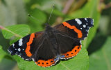 BF12-Red Admiral
