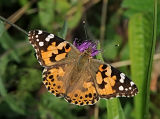 BF13-Painted Lady