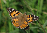 BF14-Painted Lady