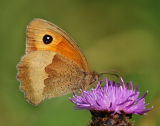 BF16-Meadow Brown