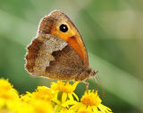 BF16A-Meadow Brown