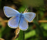 BF2-Common Blue male