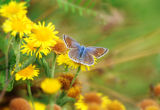 BF5-Common Blue female
