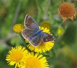 BF6-Common Blue female