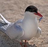 BRD100-Arctic Tern