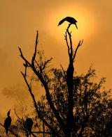 BRD104-Cormorant