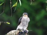 BRD127-Sparrow hawk