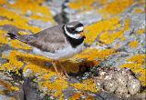 BRD129-Ringed plover at nest