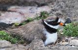 BRD130-Ringed plover at nest