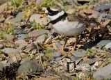 BRD131-Ringed plover at nest
