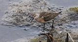 BRD24-Curlew Sandpiper
