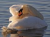 BRD50-Swans
