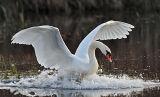 BRD51-Swans