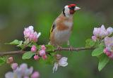 BRD56-Goldfinch