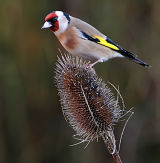 BRD57-Goldfinch