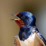 BRD63-Swallow