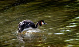 BRD68-Great Crested Grebe