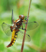 DF 1-Broad Bodied  Chaser