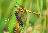 DF 32-Common darter