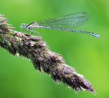 DF 37-Immature Blue Damselfly