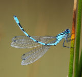 DF 41-Blue Damsel fly flexing abdomen