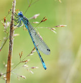 DF 43-Blue Damselfly