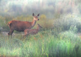 DR13-Red Deer at  Leighton Moss