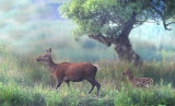 DR14-Red Deer at  Leighton Moss