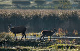 DR15-Red Deer at  Leighton Moss