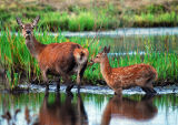 DR19-Red Deer at  Leighton Moss