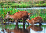 DR21-Red Deer at  Leighton Moss