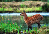 DR22-Red Deer at  Leighton Moss
