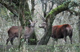 DR3-Red Deer at  Leighton Moss