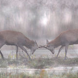 DR32-Young stags in rut