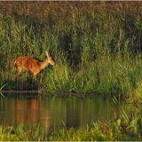 DR33-Red deer calf