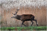 DR6-Red Deer at  Leighton Moss
