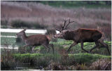 DR8-Red Deer at  Leighton Moss