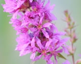 FLW14-Purple Loostrife