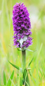 FLW21-Orchid  Bempton Cliffs