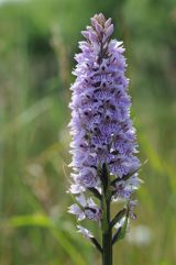 FLW22-Common spotted Orchid