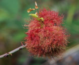 FLW24-Wild Rose Gall