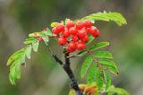 FLW34-Rowan-Berries
