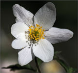 FLW6-Wood Anemone