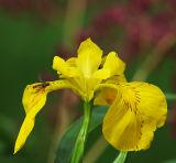 FLW9-Yellow Flag Iris