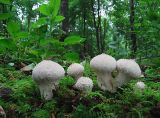FNG11-Common Puffballs