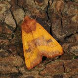 MT13-Centre Barred Sallow moth